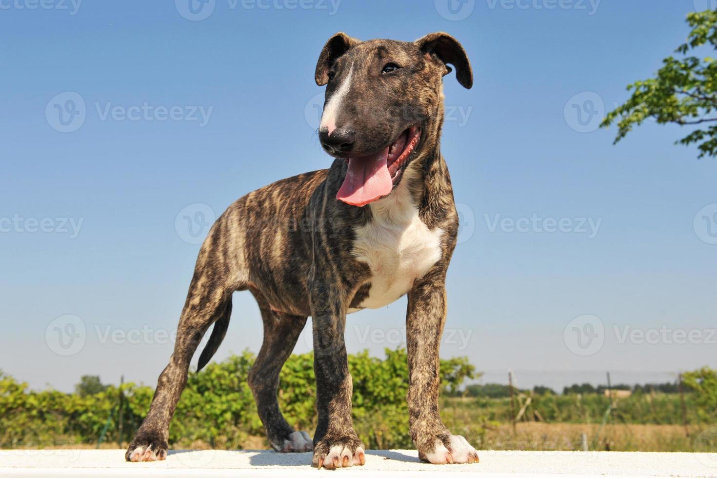 puppy bull terrier foto