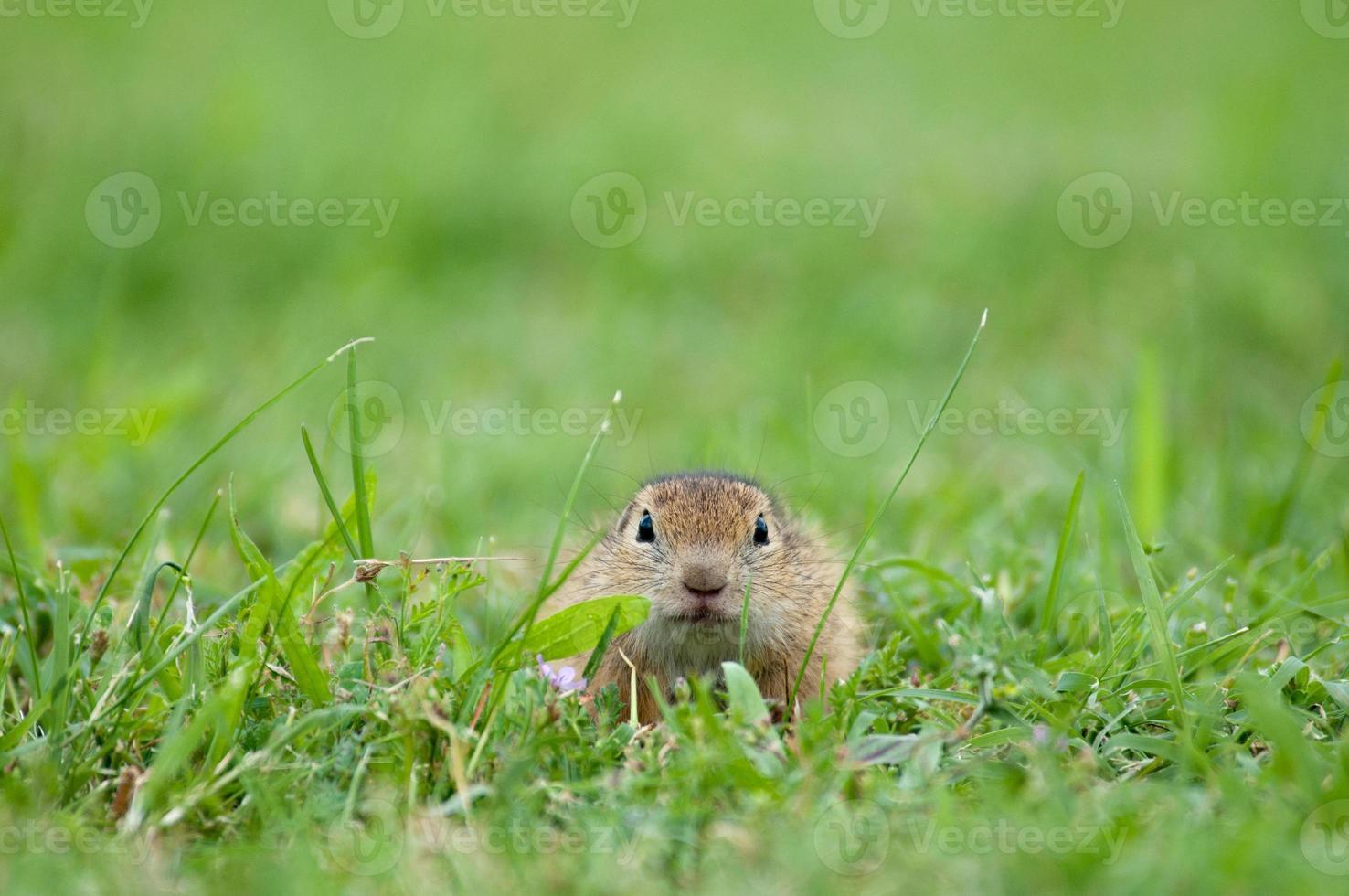 Europese grondeekhoorn verborgen in het gras foto