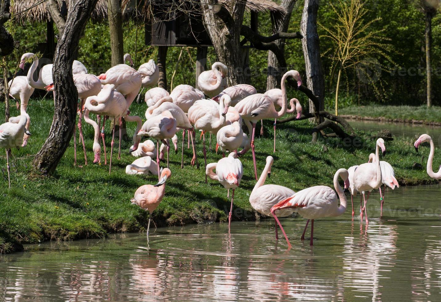 groep grotere flamingo's (phoenicopterus ruber roseus) foto