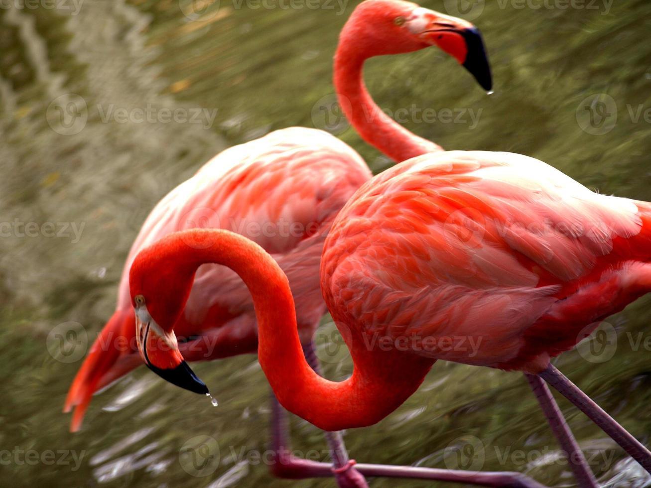 caraïbische flamingo's foto