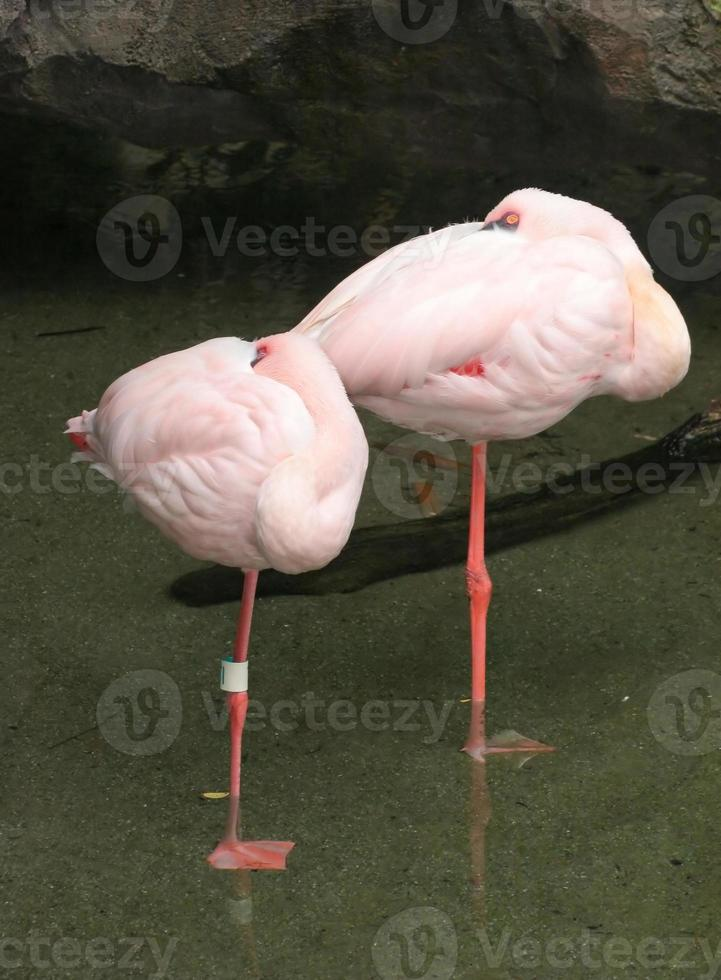 paar roze flamingo's foto