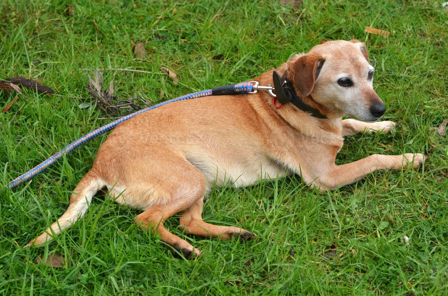 feamle foxhound hond foto