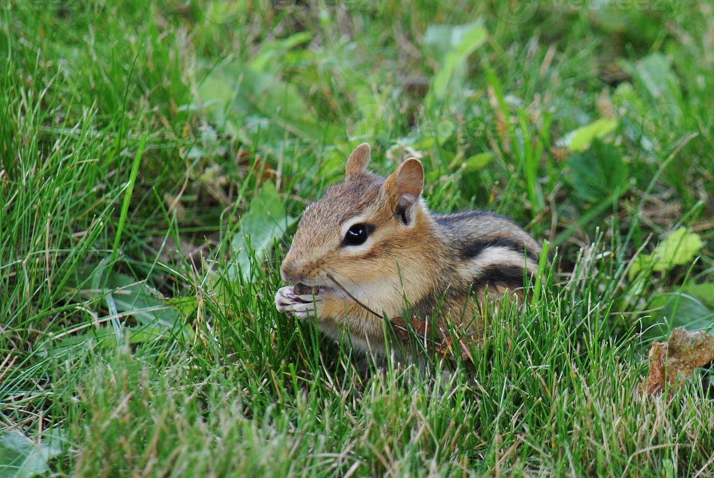 snacken chippy - eekhoorn voeden foto