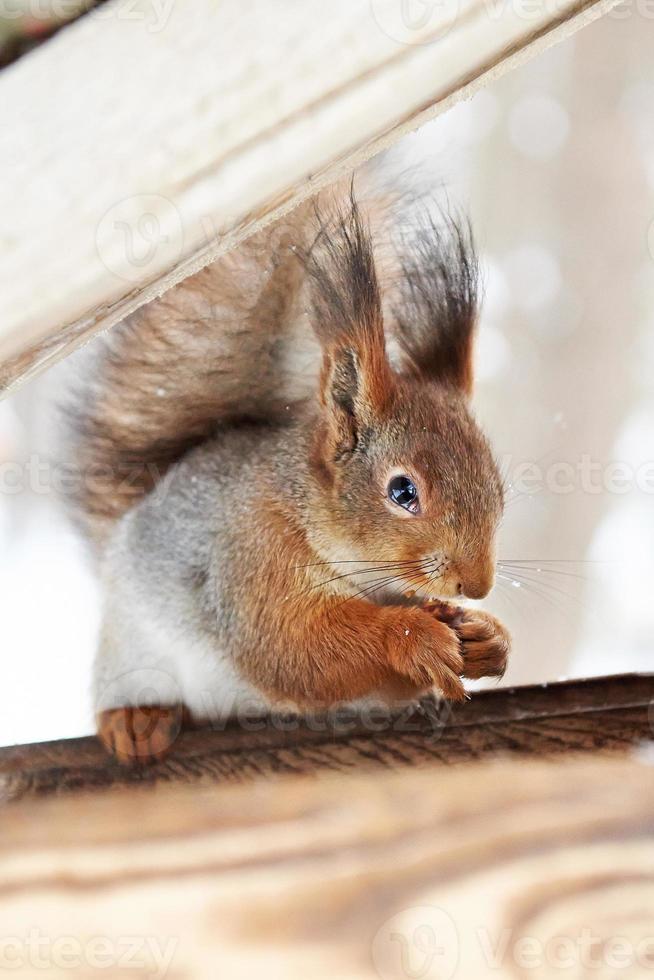 eekhoorn knabbelt aan noot foto