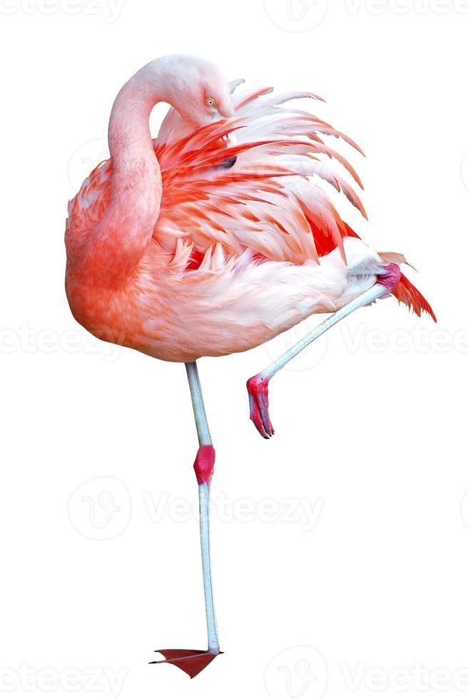 geïsoleerde flamingo op één been foto