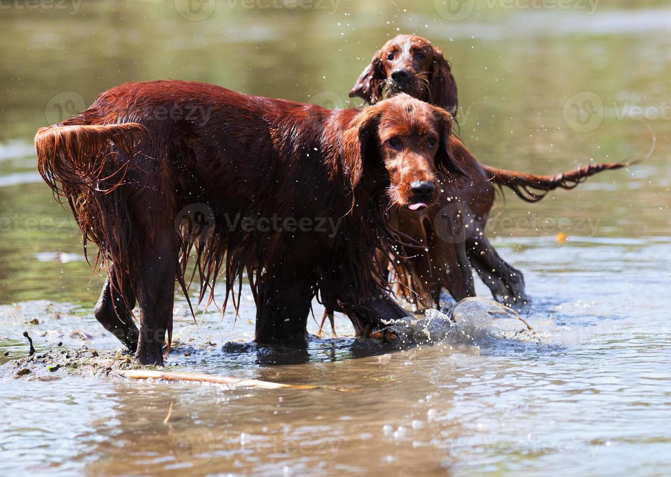 twee rode Ierse setters staan in water foto