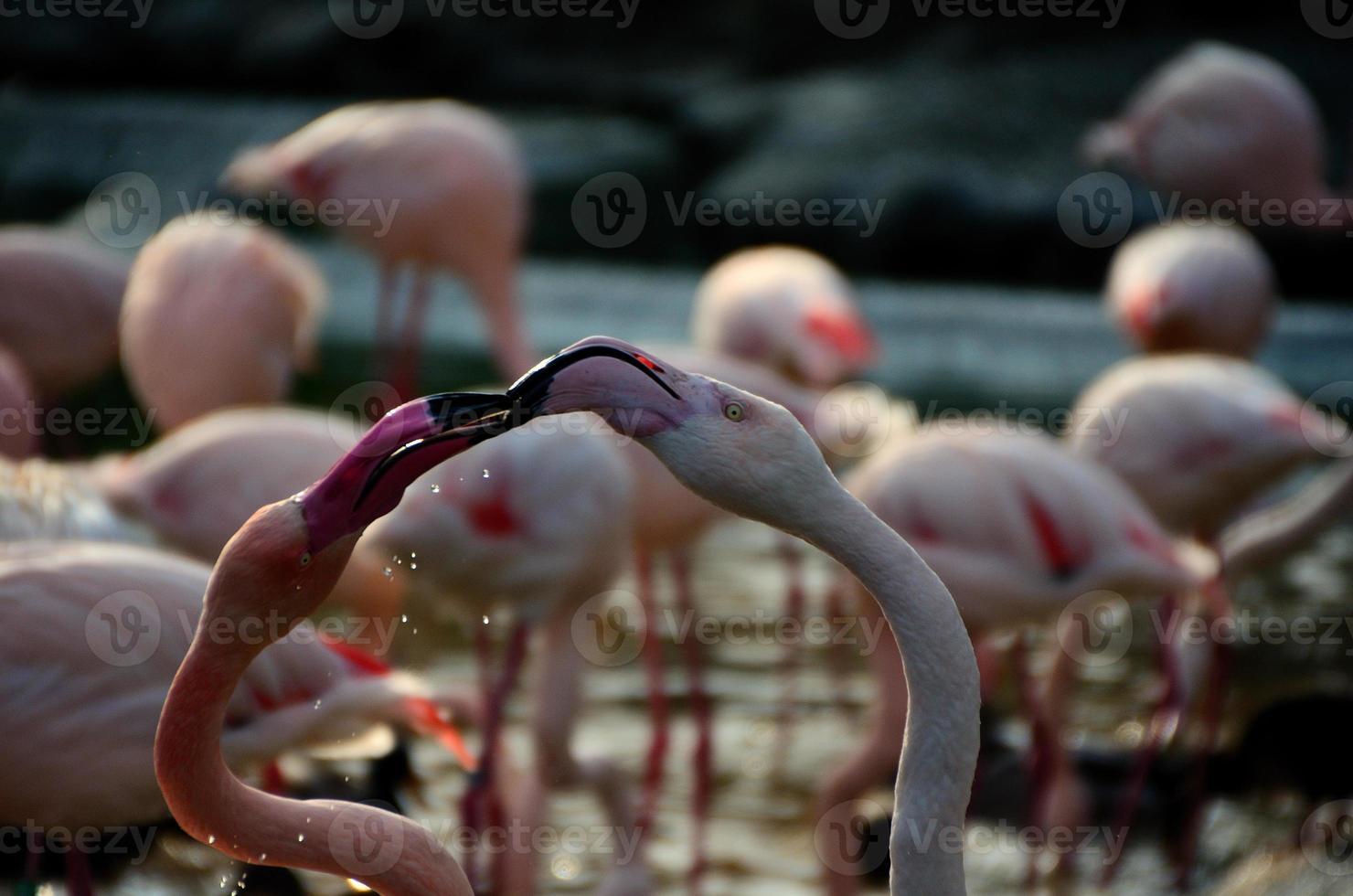 twee flamingo's foto