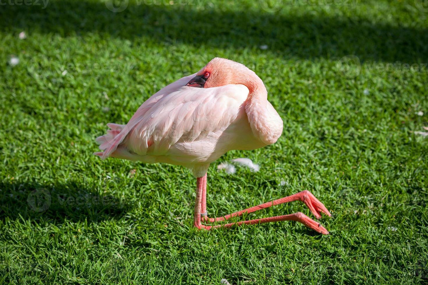 slapende flamingo foto