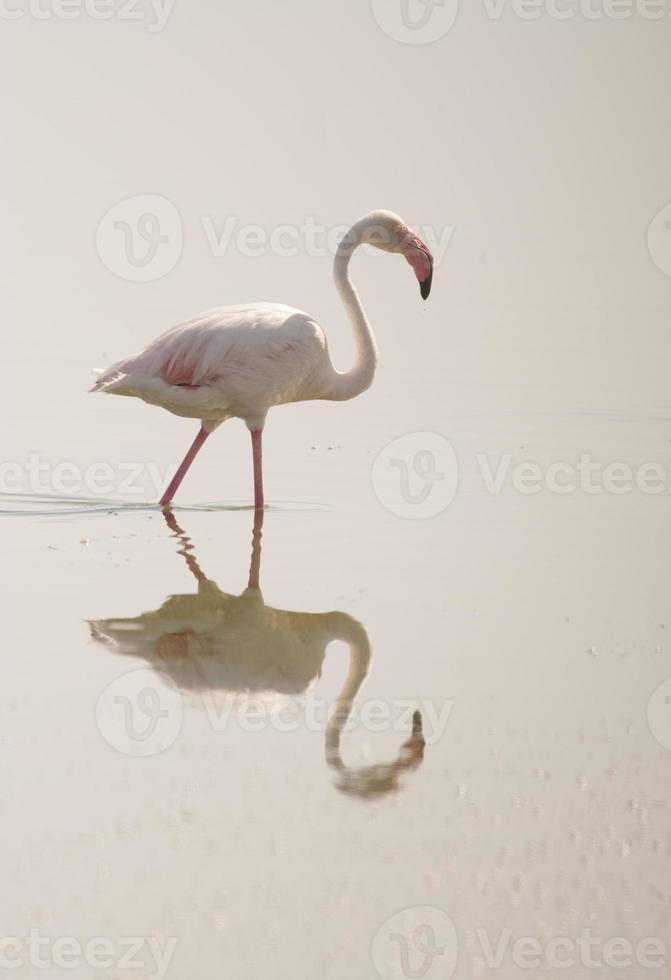 flamingo reflectie foto