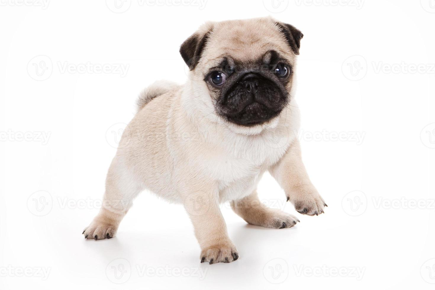 grappige pug puppy kijken naar de camera (geïsoleerd op wit) foto