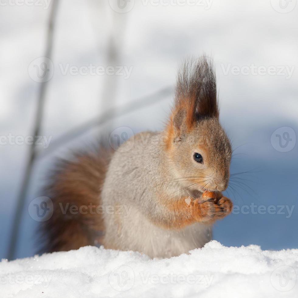 eekhoorn in de sneeuw foto