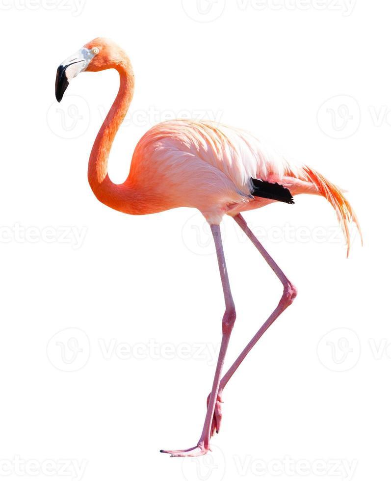 volledige lengte van flamingo over wit foto