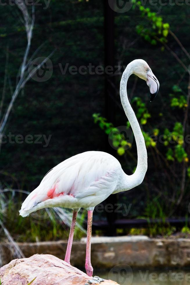 flamingo mooi portret foto