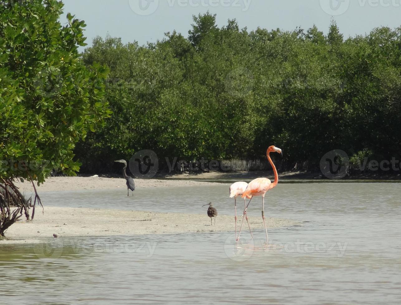 Mexicaanse flamingo foto