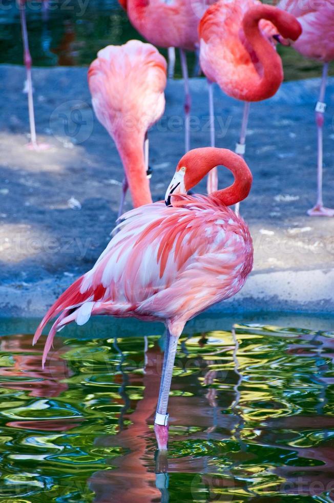 roze rode flamingo foto