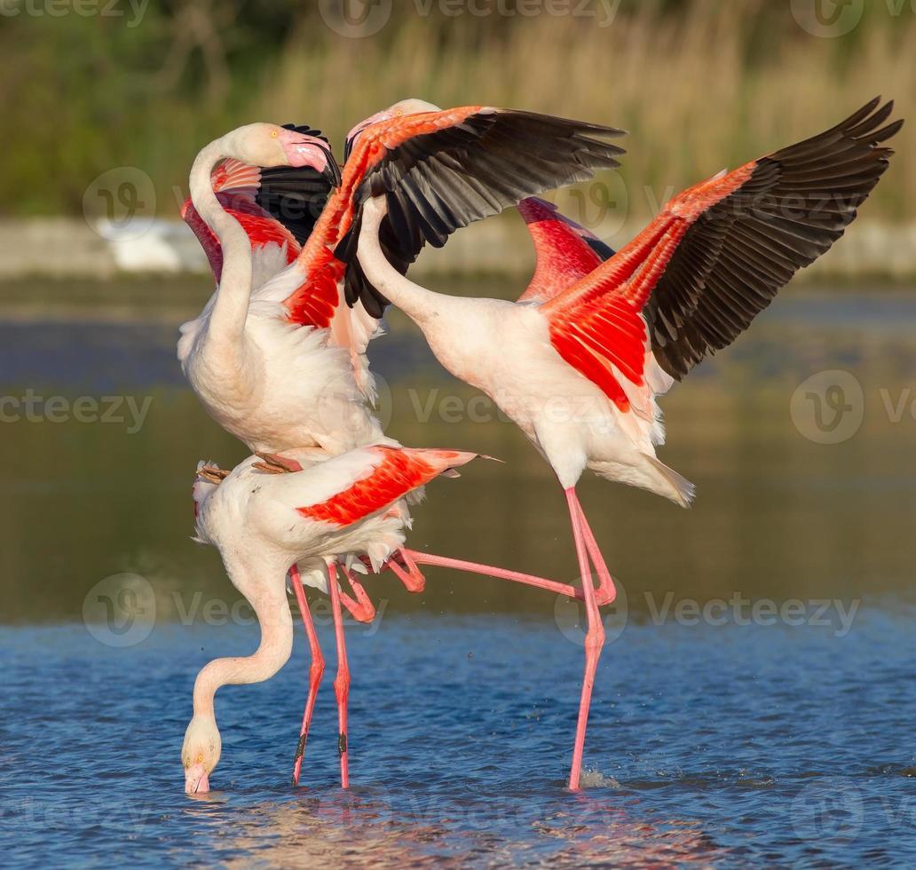 grotere flamingo (phoenicopterus roseus) - paring foto