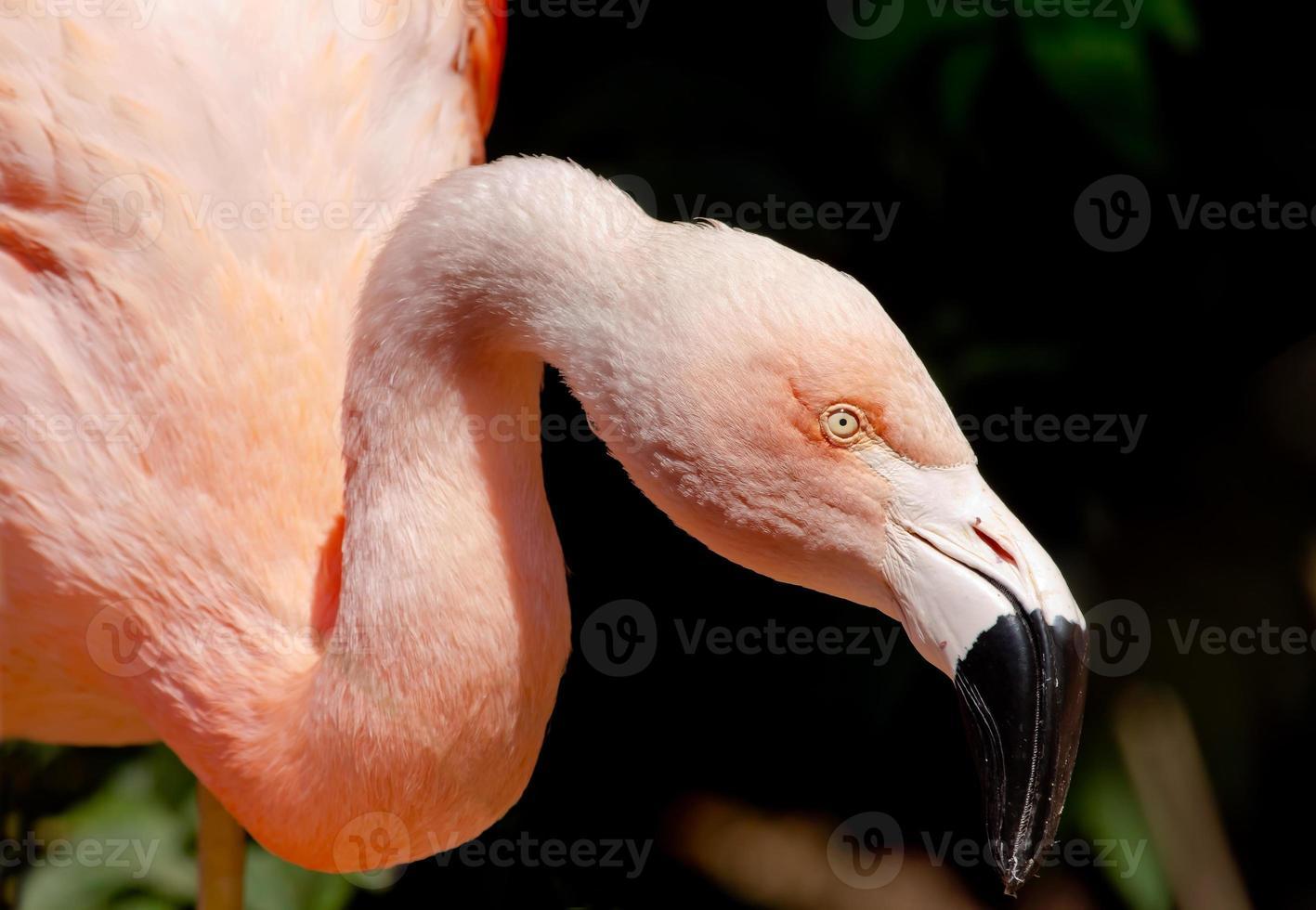 roze chileense flamingo op zoek naar voedsel foto