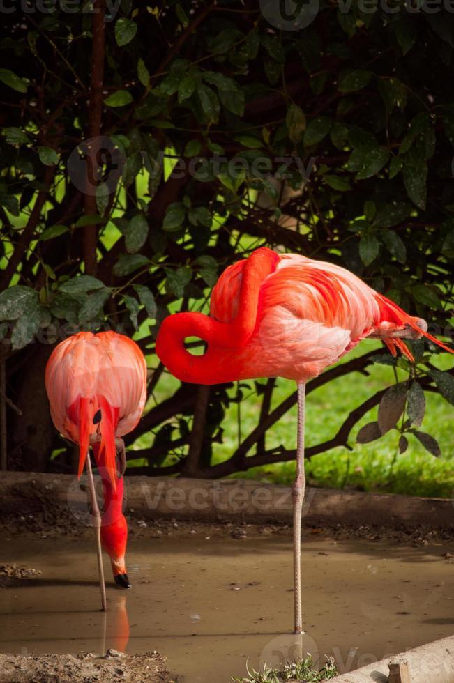 flamingo in de dierentuin van lissabon foto