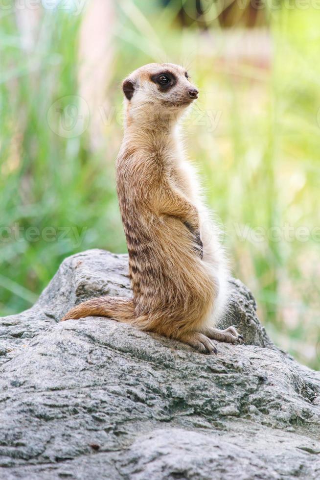 portret van meerkat op de rots met natuur frame foto