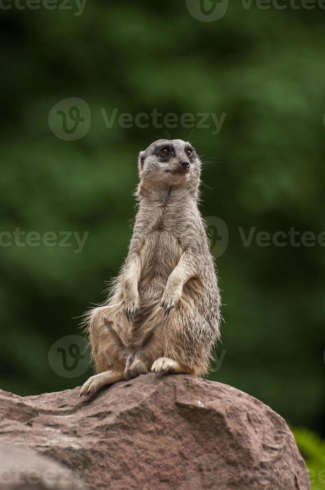 speelse en nieuwsgierige suricates in een klein open resort foto