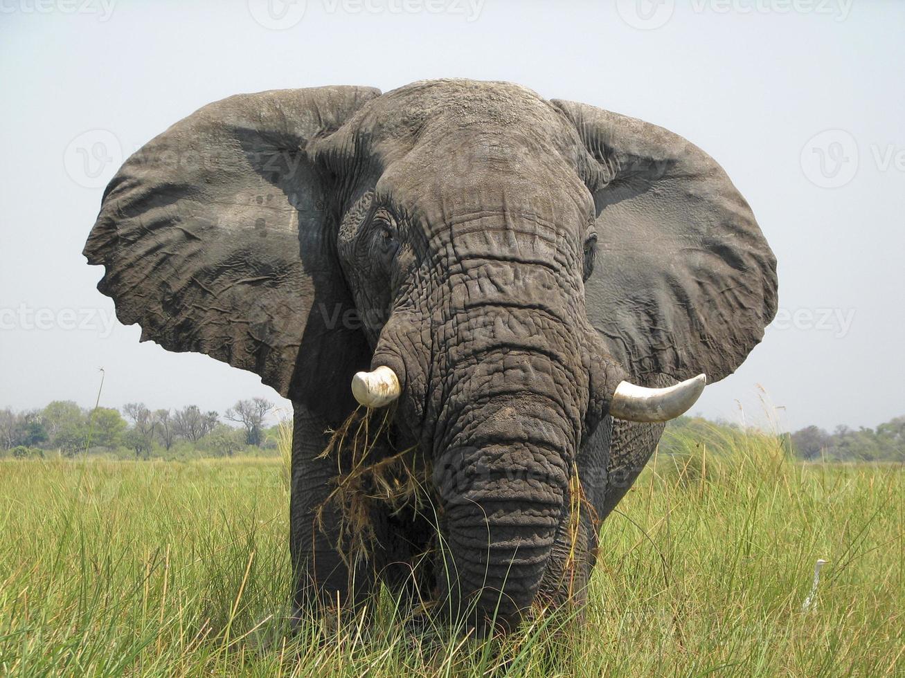 okavango delta olifant foto