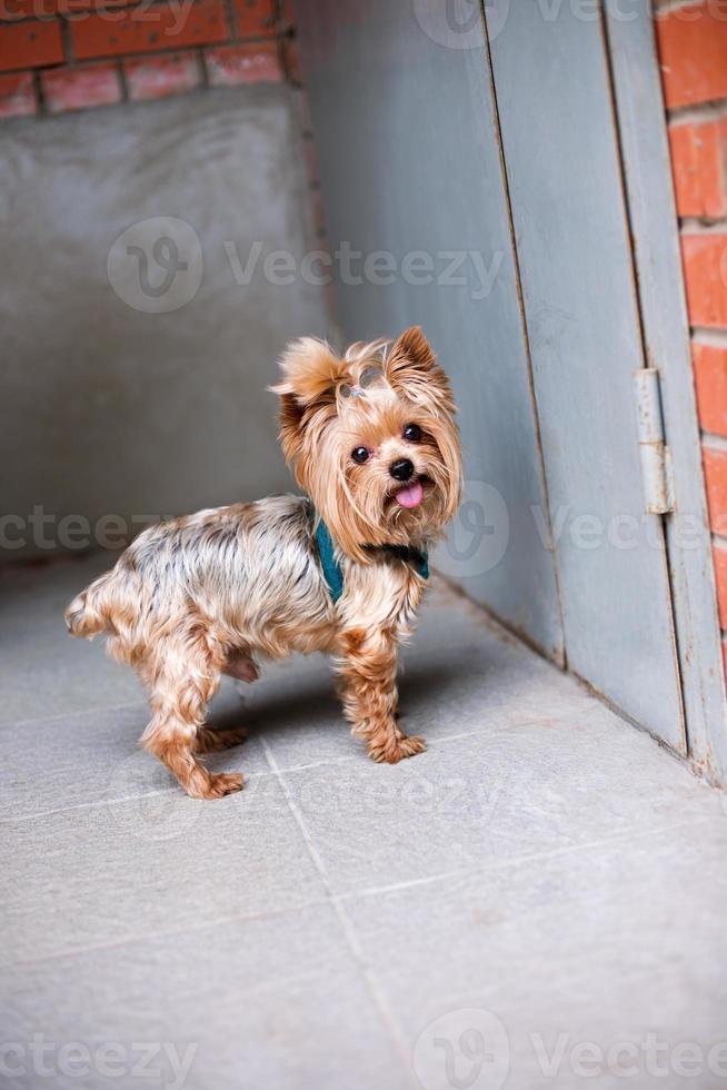 Yorkshire terrier die zich dichtbij voordeur bevindt foto