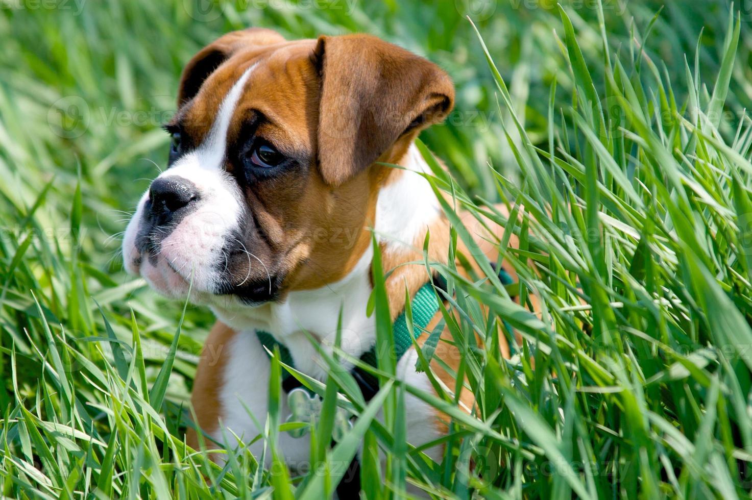 bokser puppy foto