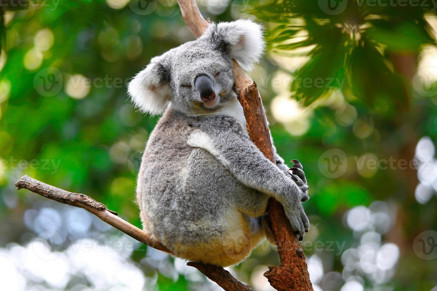 slapende koala foto