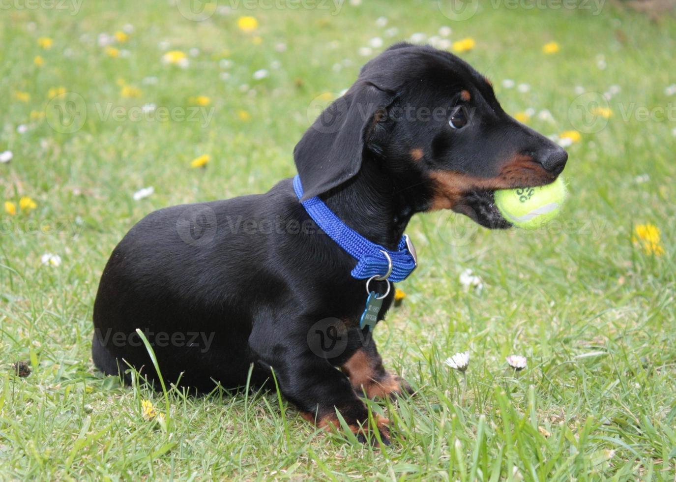 miniatuur teckel puppy foto
