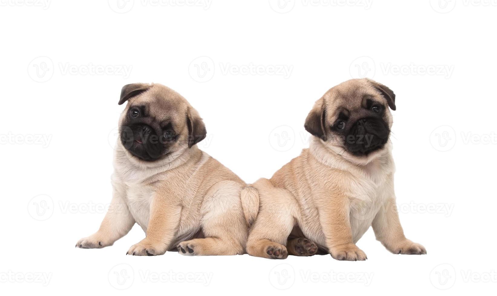 twee pug puppy geïsoleerd op een witte achtergrond foto