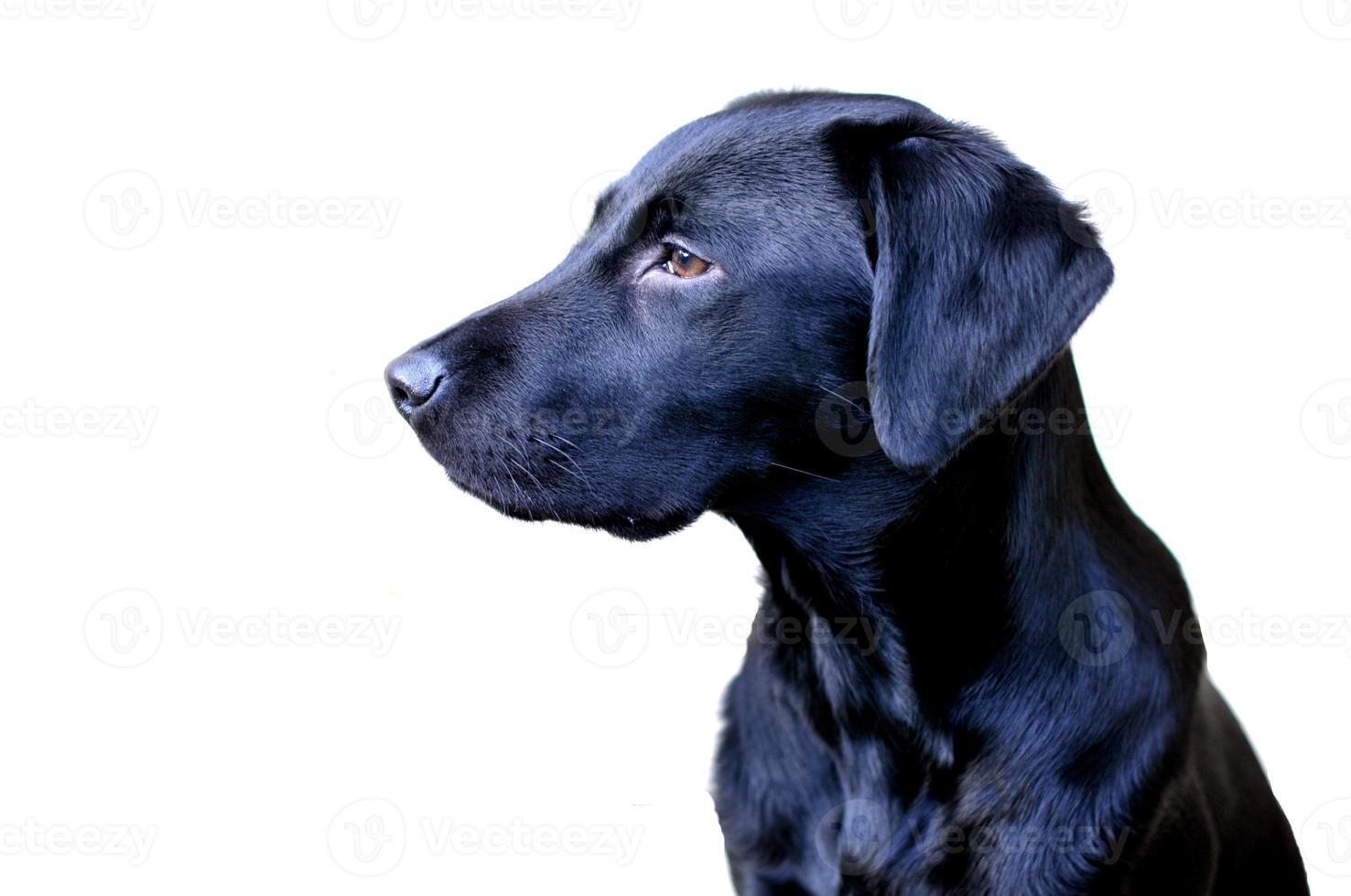 jonge werkende labrador foto