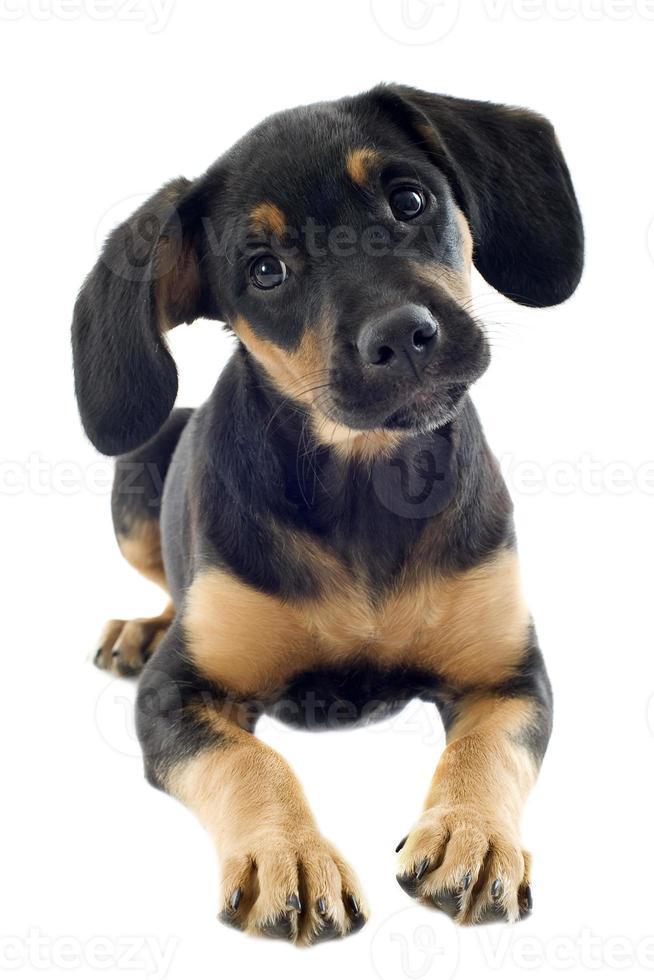 puppy doberman foto