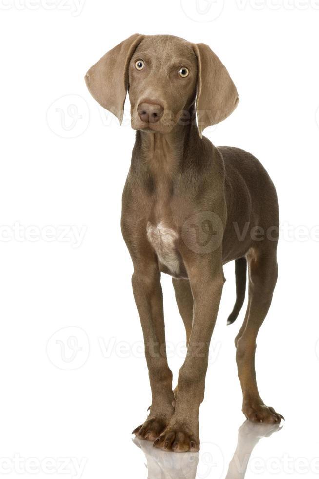 puppy weimaraner foto