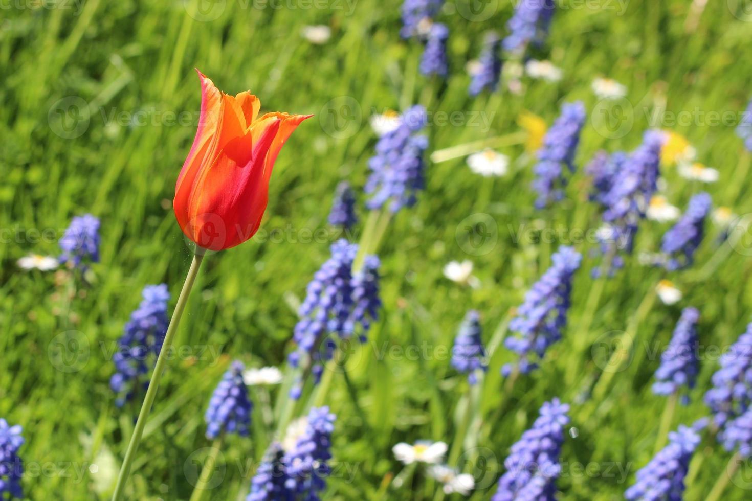 tulp met gebied van hyacinten op achtergrond foto