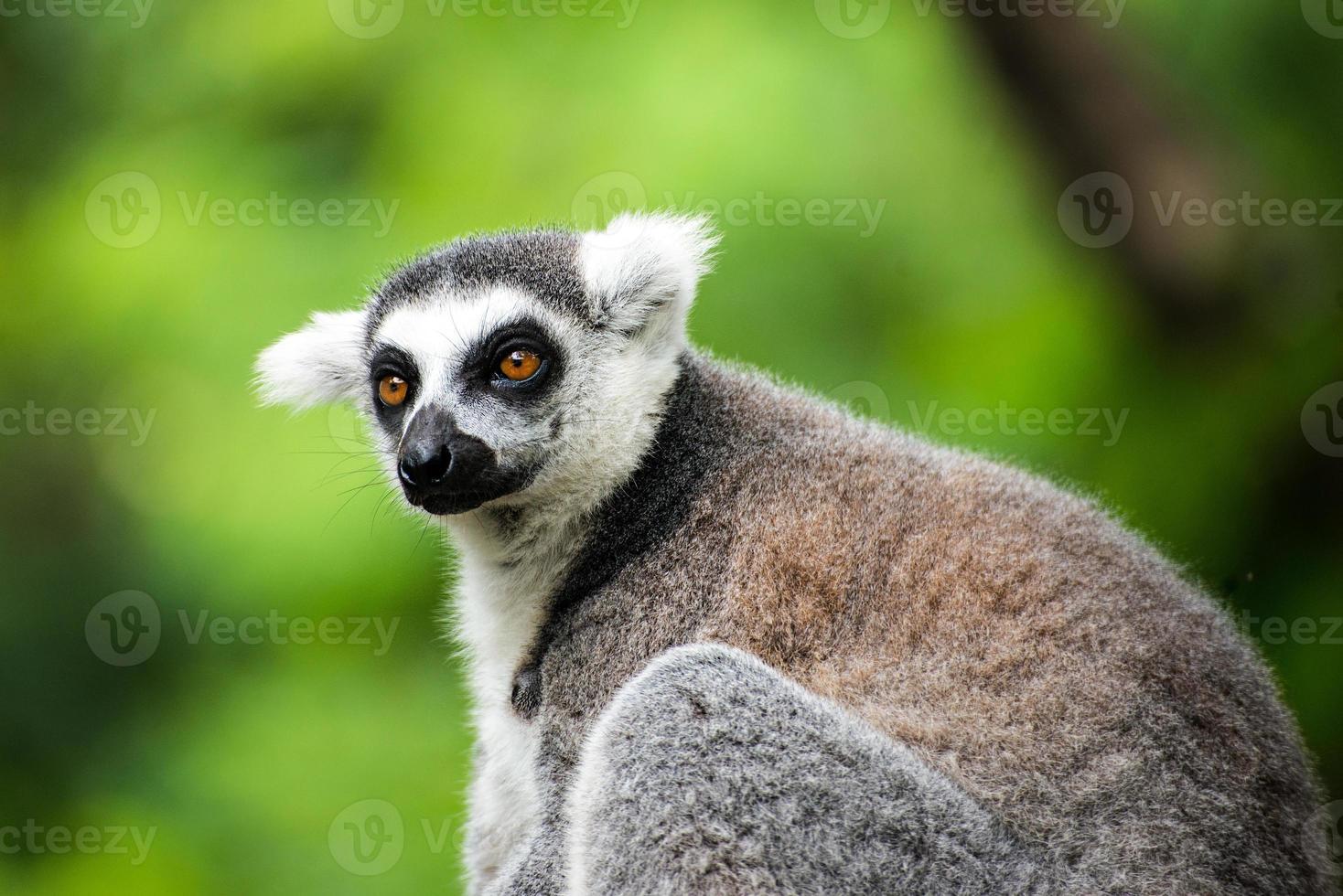 ringstaartmaki (lemur catta) foto