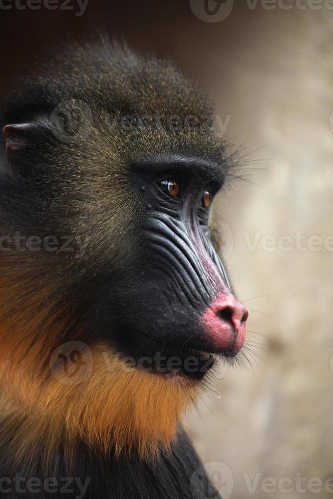 mandril (mandrillus sphinx). foto