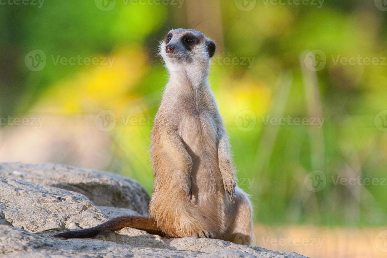 stokstaartje of suricate foto