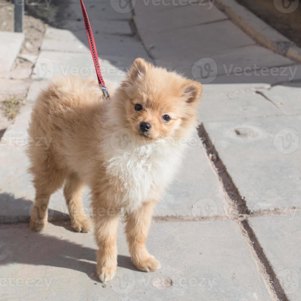 spitz puppy foto