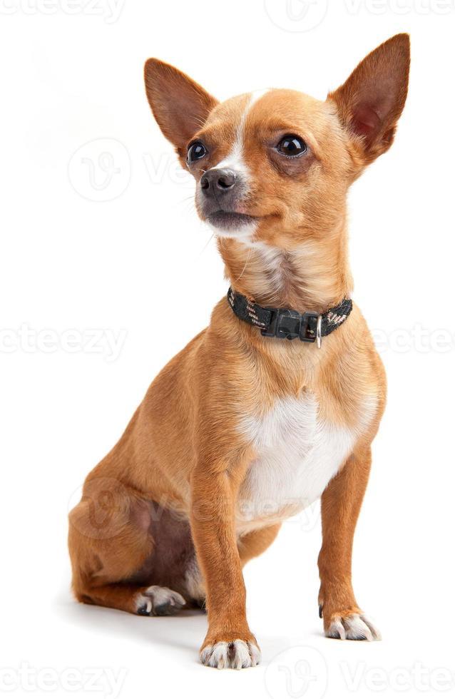 chihuahua geïsoleerd op wit foto