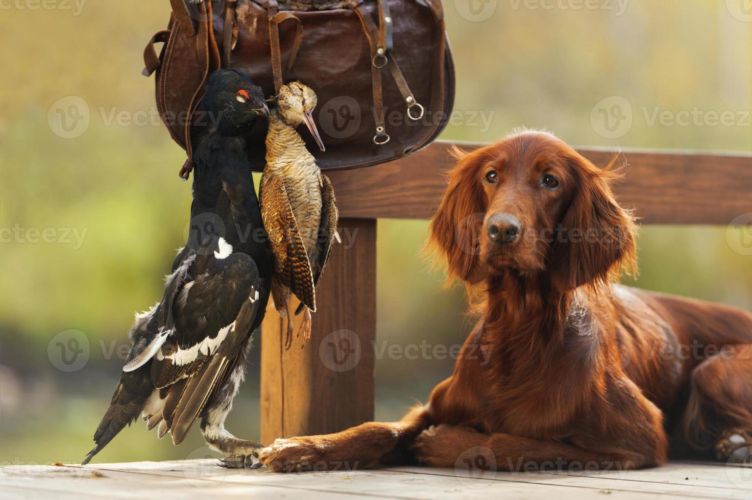 Ierse setter jachthond met patroonzak en trofee vogels foto