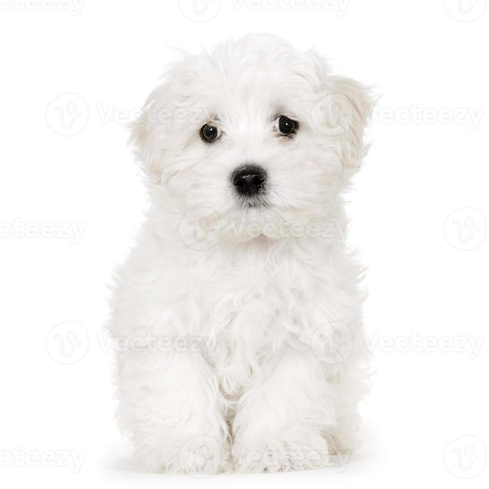 puppy Maltese hond foto