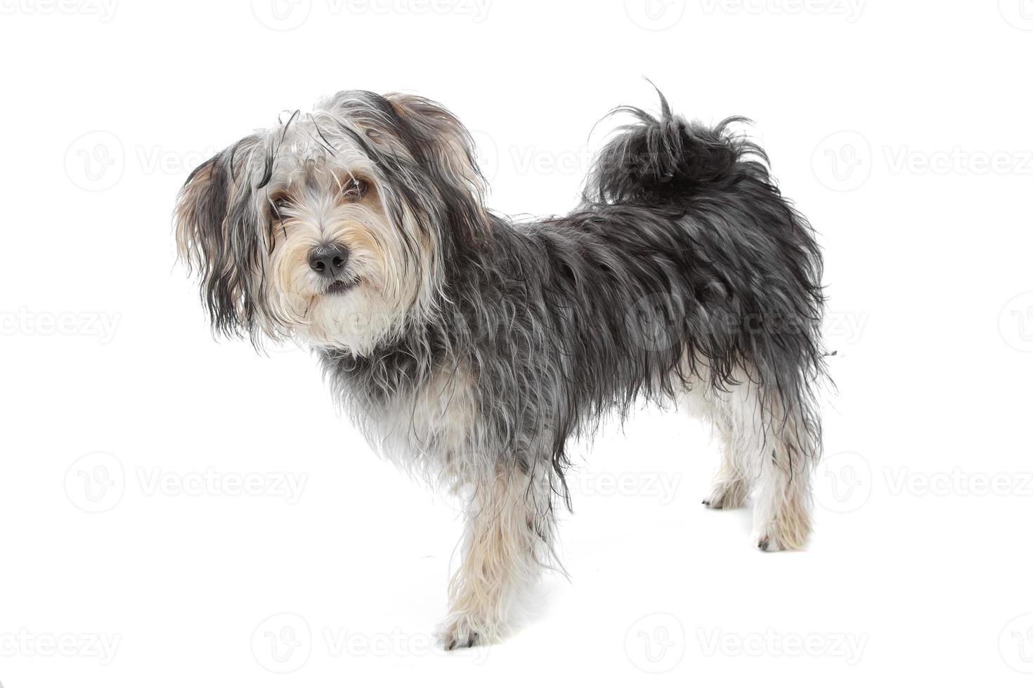 Maltese hond van gemengd ras / yorkshire terriër foto