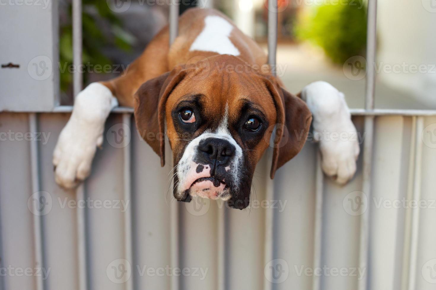 triest boxer hond foto