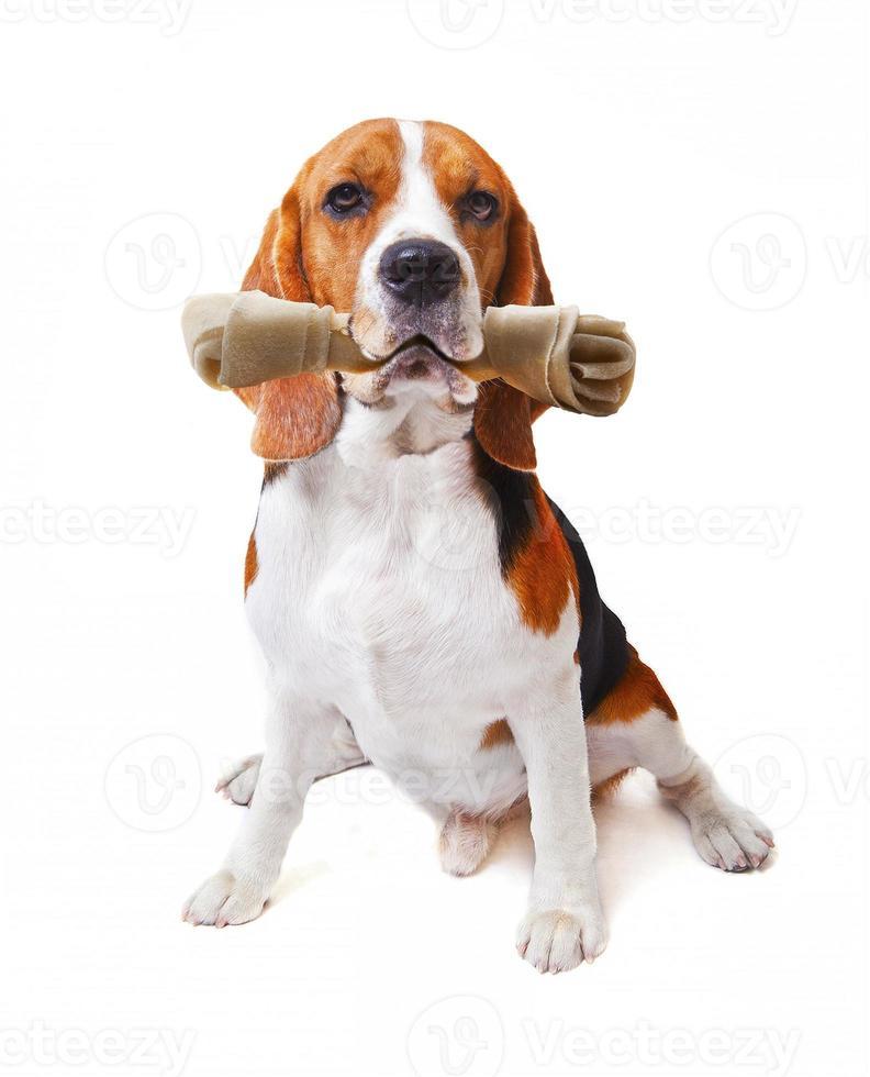 gezicht van beagle hond met kunstmatige botten in de mond foto