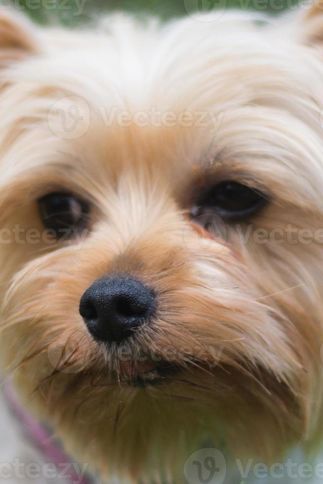 hond snuit op een terriër van yorkshire foto