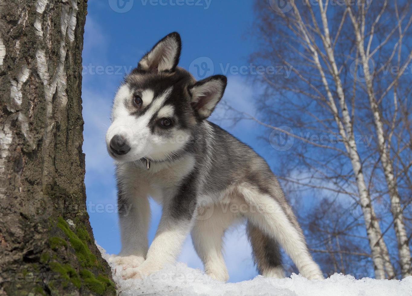 Siberische husky pup foto
