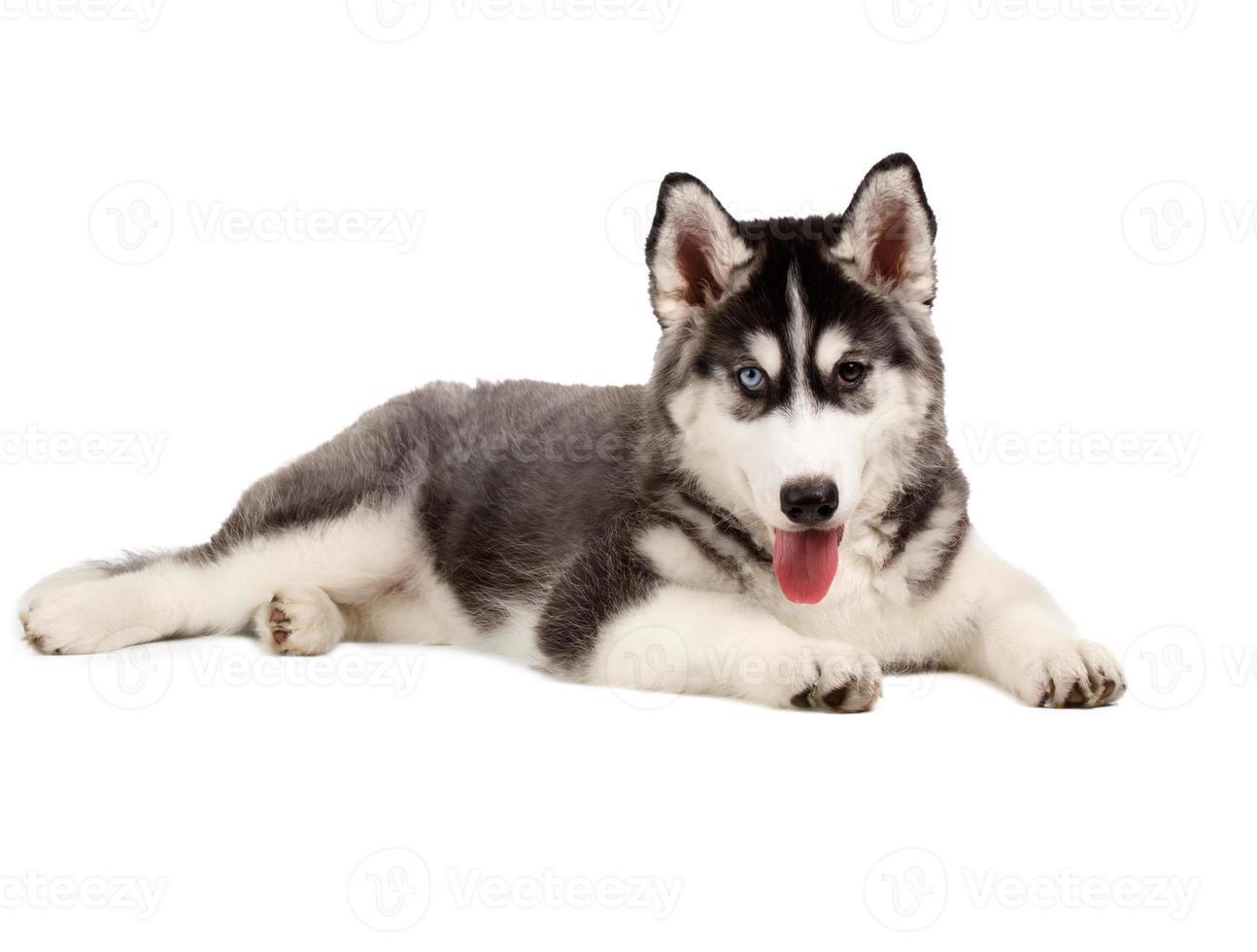 Siberische husky pup op wit foto