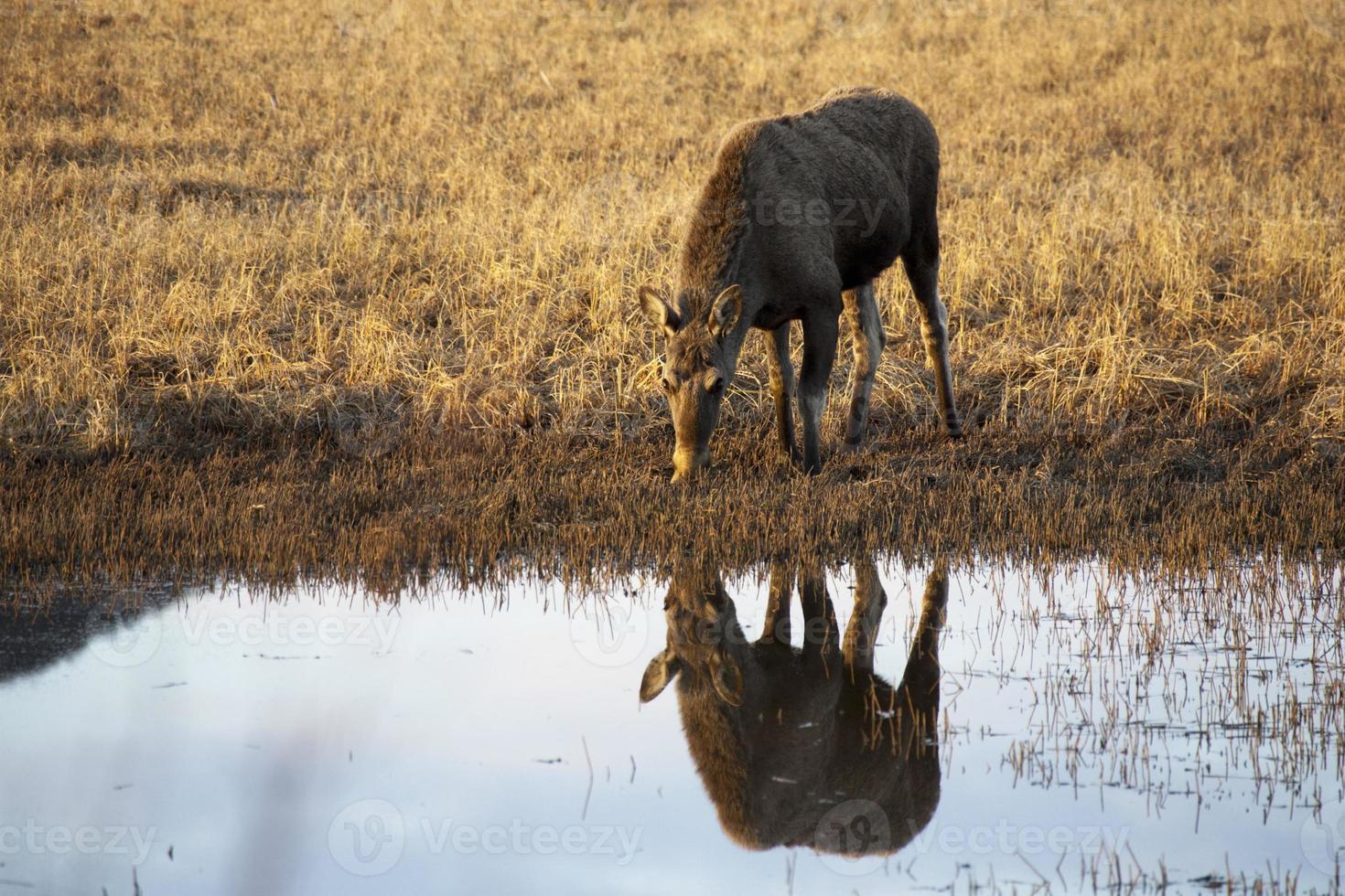 elch, eland - vrouw foto