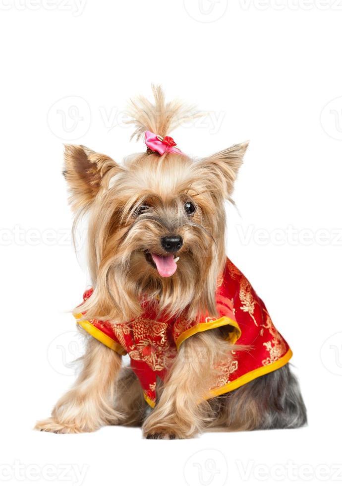 Yorkshire terrier hond in rode Chinese kleding foto