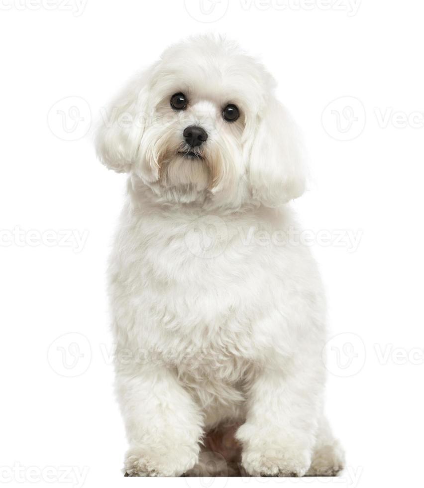 Maltese zitten, kijkend naar de camera, geïsoleerd op wit foto
